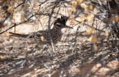 Roadrunner standing under the branches of a bush