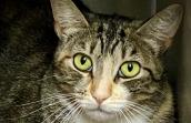 The face of Mila the tabby and white cat