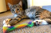 Rapunzel the kitten lying on the floor next to a rainbow colored toy