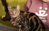 Gia the cat sitting on the lap of someone wearing a Best Friends logo shirt