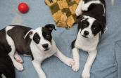 Two black and white puppies lying by each other with two of their front paws touching like they're holding hands