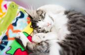 Tabby and white cat sleeping on a colorful blanket
