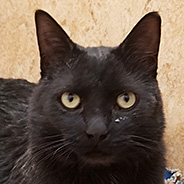Adopt Vincent the cat available for adoption from the Sanctuary