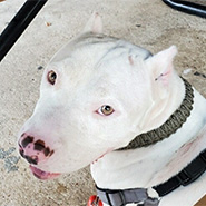 Adopt Xavier the dog available for adoption from Houston