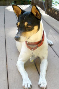 Betsy the petite rat terrier who was helped by New Rattitude, Inc.