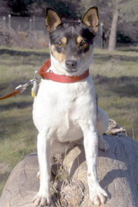 Petite rat terrier Betsy who was helped by New Rattitude, Inc.