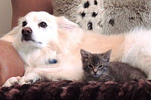 Johnny Depp as a kitten lying next to a big white dog