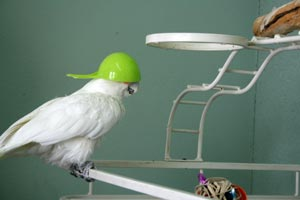 Keno the Goffin's cockatoo and his unique cap