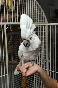 TooBird the umbrella cockatoo