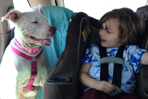 Daisy the white American bulldog mix's car ride home