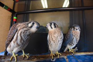 The American kestrels are now fledglings