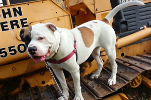 Bluto the American bulldog