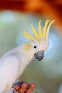 Angel the cockatoo