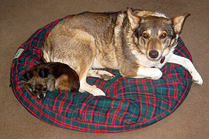 Little dog and big dog, Angel and Piccola, sleeping on a dog bed together