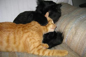 Arnie the cat with a genetic condition called radial hypoplasia playing with another cat in his new home