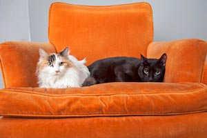 Atlantis the male surrogate cat hanging out on an orange chair with a longhair calico cat