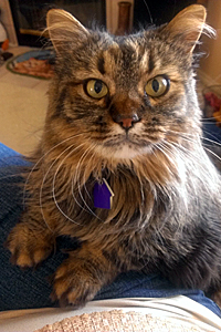 Poppy Sue the stunning Maine coon tabby cat from Hurricane Animal Shelter in Southern Utah