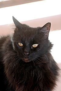 Lady Opal the shy black cat adopted during the Back in Black promotion