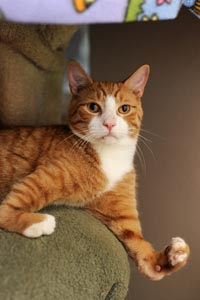 Beazley the orange and white cat with his misshapen paws that don't slow him down