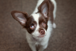 Pappy the blind Chihuahua puppy