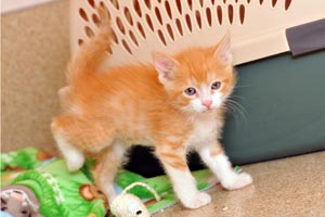 Keller the orange and white kitten