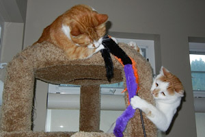 Calvin and Einstein the cats playing