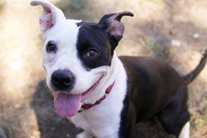 Belinda the shelter dog from Austin Pets Alive