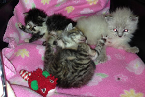 Weight can help determine the age of kittens like this litter