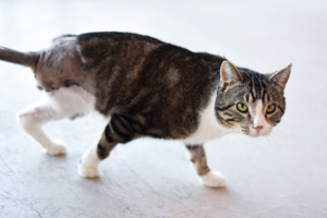 Ludo the tabby cat who had to have his injured leg amputated