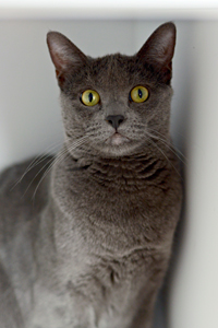 Penelope the gray cat who engages in self-destructive behavior