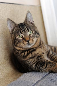 Cotton the kitten with cerebellar hypoplasia at the Best Friends Animal Sanctuary