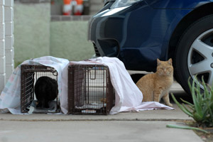 Humane trapping community (feral and stray) cats