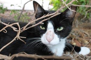 Bubba the tuxedo feline, a community cat in San Antonio, Texas