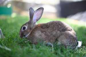 MacGruber the bunny who looks like a wild cottontail rabbit but is not