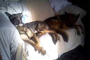 Crash the German shepherd enjoying the good live in his new home on the couch with another dog