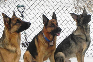 Crash the German shepherd with his two new canine brothers