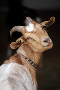 Cupid the goat who was rescued