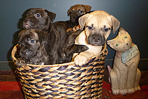 Harper as a puppy in a basket with other puppies