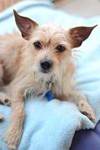 Darby the terrier mix dog