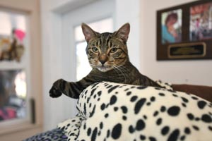Dina the tabby cat showing her bent paw
