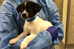 Border collie puppy receiving medical assistance for distemper