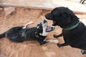 Gibson and Delaney the dogs playing together after their recovery from medical issues