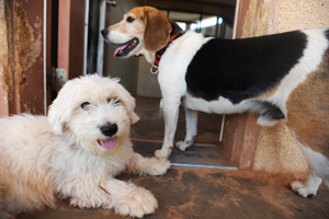 Snoopy the Beagle mix with Elf the Maltese