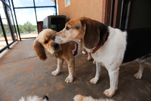 Snoopy the Beagle mix with Sophie the cocker spaniel