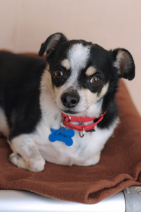 Lil Brave the black and white Chihuahua wearing a red collar