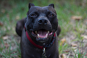 Padfoot the black pit bull terrier from Pit Sisters