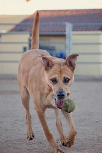Jerome, a shy dog from the hoarding case, galloping across the play yard with a tennis ball in his mouth