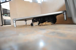 Hound mix dog Elwood hiding under his bed after hearing the sound of a truck drive by