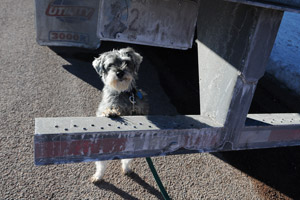 Garrett the senior schnauzer mix by a semi-truck