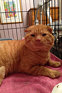 Gepetto the Scottish fold lookalike was rescued from the streets in Baltimore, Maryland